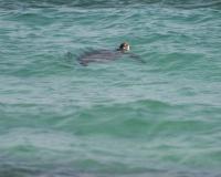 sea turtle n shore by photographer miyuki edwards