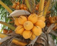 miyuki edwards photograph of coconuts