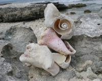 miyuki edwards photograph of conch shells